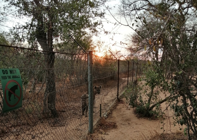 A curious hyena circles the compound in Kruger National Park
