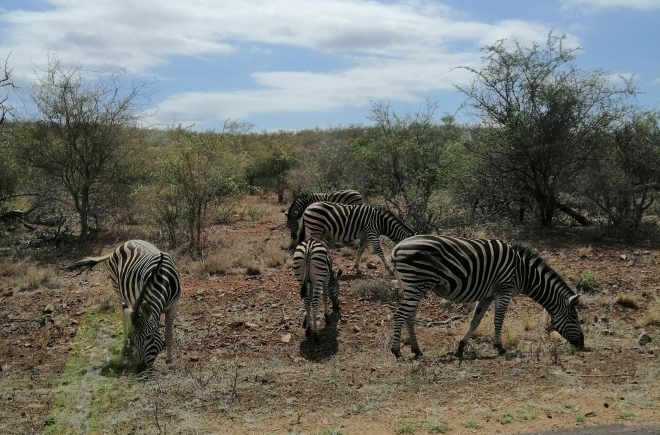 Zebras by the road side